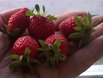Die erste Erdbeeren des Jahres